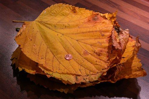 Leaf Pile, Elm Leaves, Mountain Elm, Size Comparison