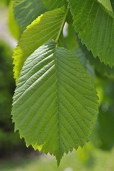 Elm, Leaf, Green, Hanging Elm, Tree Leaf, Nature, Plant