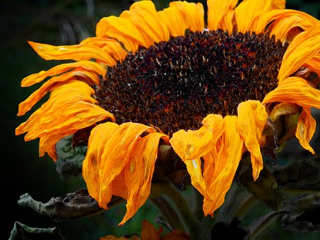 Sunflower, Flower, Blossom, Bloom, Faded, Withered