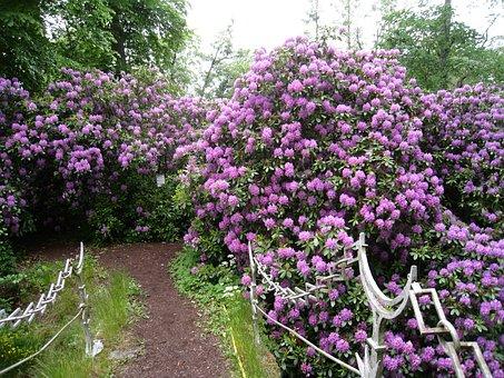 Rhododendron, Shrubs, Flowering, Flowers, Purple, Bro
