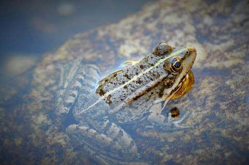 Toad, Frog, Gerardo, Water, Nature, Animal, Amphibian