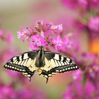 Dovetail, Butterfly, Garden, Insect, Flower, Plant