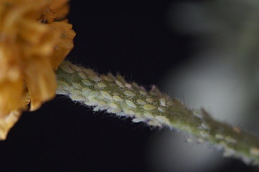 Pests, Lice, Aphids, Vermin, Branch, Infestation, Aphid