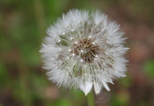Dandelion, Close, Infructescence, Composites, Roadside