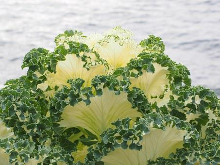 Ornamental Cabbage, Leaves, Detail, Ruffled, Kraus