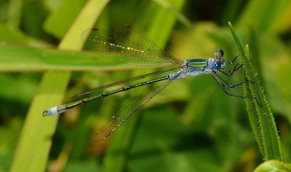 Insects, Odonata, Lestes, Sponsa, Maid