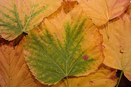 Mountain Elm, Elm Leaves, Size Comparison, Cent, Coin