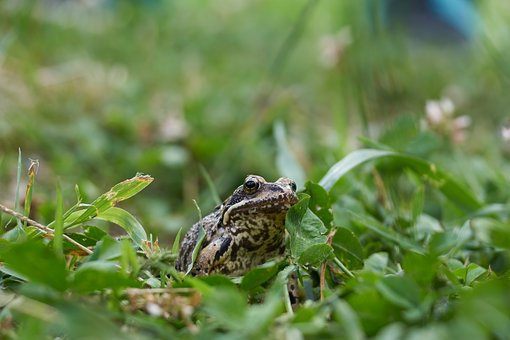 Frog, Grass, Meadow, Green, Animal, Toad, Nature, Sit