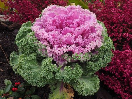 Ornamental Cabbage, Leaves, Kraus, Fraktalähnlich
