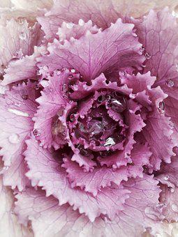 Winterkohl, Kohl, Ornamental Cabbage, Ornamental Plant