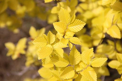 Gold-leaf Elm, Gold, Elm, Park, Plant Configuration