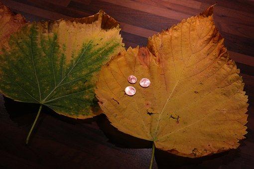 Elm Leaf, Mountain Elm, Elm Leaves, Size Comparison