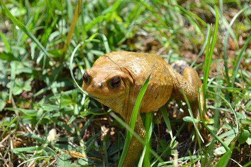 Toad, Frog, Amphibian, Grass, Summer
