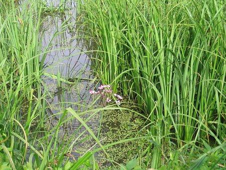 Swamp, Mead, Flower, Water, Tall Grass, Green