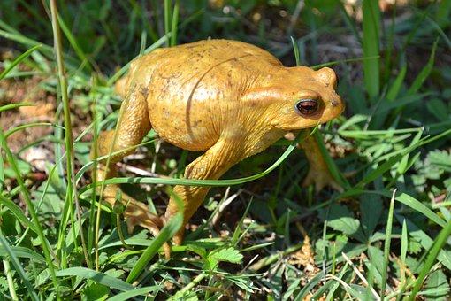 Toad, Frog, Amphibian, Grass, Summer, Animal