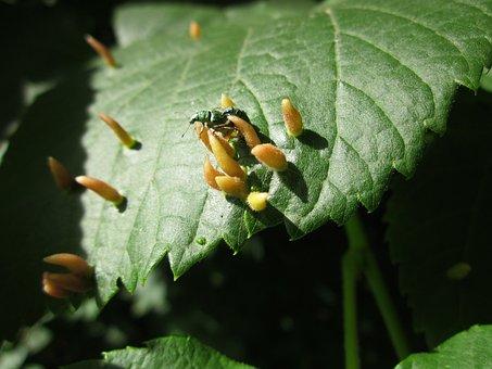 Ulmus Glabra, Wych Elm, Scots Elm, Leaf, Galls, Botany