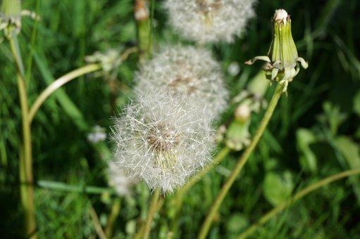 Dandelion, Faded, Seeds, Garden, Boll, Dry, White Head
