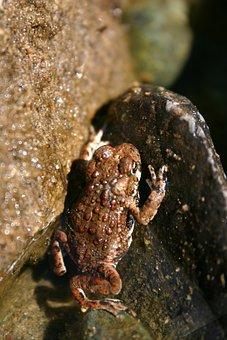Frog, Toad, Amphibian, Wildlife, Wild, Biology