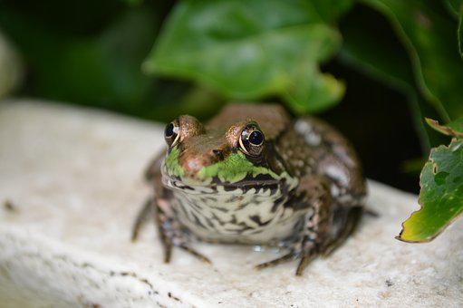 Frog, Green, Water, Wildlife, Amphibian, Pond, Animal