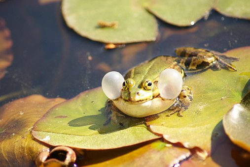 Frog, Green, Vocal Sac, Croak, Toad, Animal, Wildlife