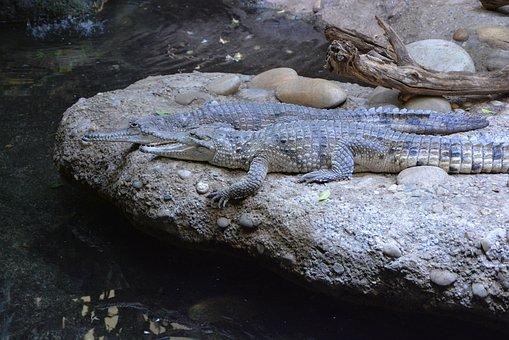 Alligator, Crocodile, Disguised, Dangerous, Zoo