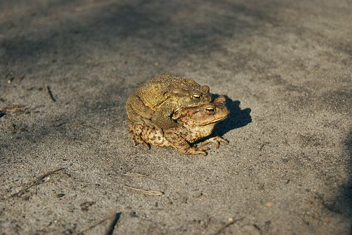 Common Toad, A Toad, Amphibian, Mating, Ampleksus, Para