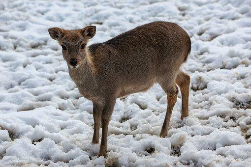 Roe Deer, Winter, Snow, Wintering, Cold, Animal, Forest