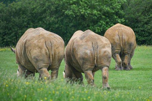 Rhinoceros, Behind, Three, Animal, Big, Back, Grass