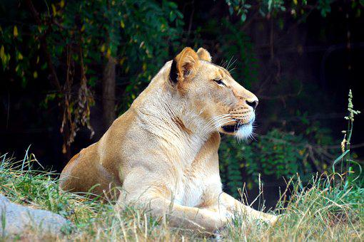 Lioness, Lion, Tiger, Wild, Zoo, Cat, Big, Feline