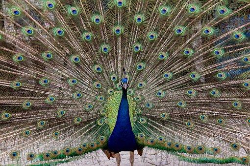 Peacock, Bird, Animal, Iridescent, Wheel, Peacock Wheel