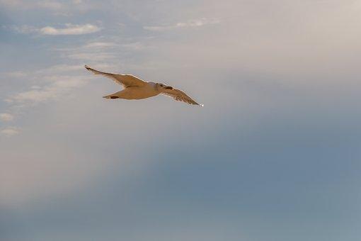 Seagull, Flying, Animal World, Flight, Bird, Sky