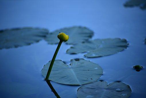 Aquatic Plant, Nuphar Lutea, Pond Plant, Blossom, Bloom