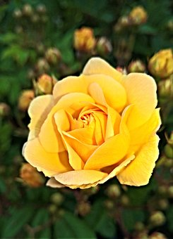 Flower, Rose, Floribunda, Yellow Flowers, Bright