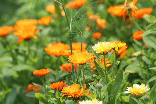 Calendula, Flowers, Marigold, Calendula Officinalis