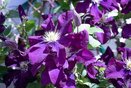 Clematis, Violet, Flower, Violet Flower, Blossom, Bloom