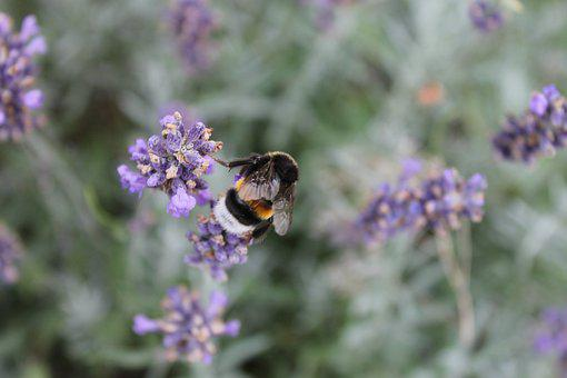 Hummel, Close, Collect Nectar, Insect, Nature