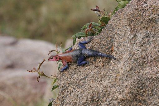 Lizard, Rainbow, Colourful, Safari, Tanzania, Rock