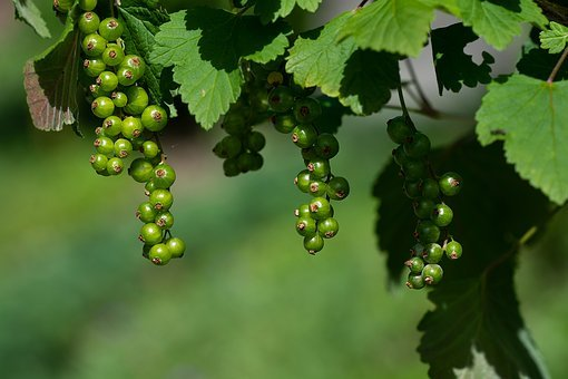 Currants, Green, Immature, Currant, Unripe Currant