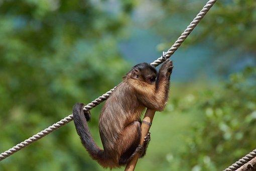 Capuchin, Monkey, Rope, Climb, Small, Gymnastics, Cute