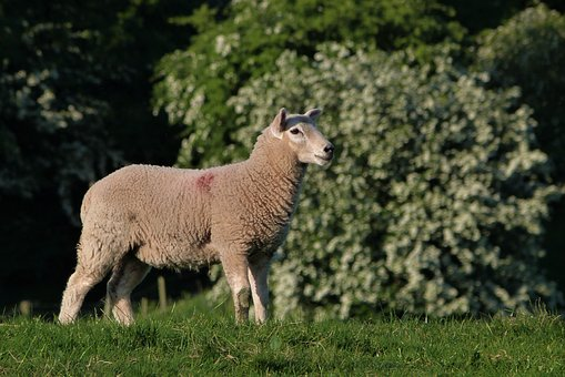 Lamb, Cute, Wool, Animal, Agriculture, Nature, Spring