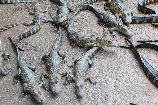Everglades, Crocodile, Florida