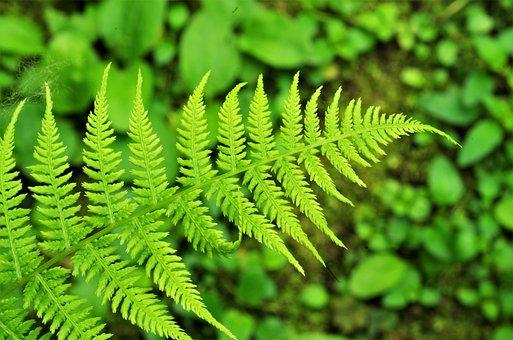 Fern, Leaf, Green, Nature