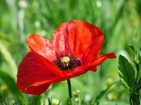 Poppy, Flower, Red Flower, Nature, Petals, Botany