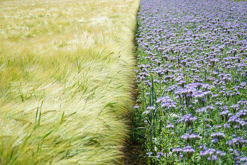 Fields, Wheat, Flower, Purple, Field, Cereals, Grain