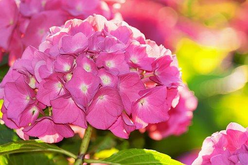 Hydrangea, Back Light, Flower, Blossom, Bloom, Pink
