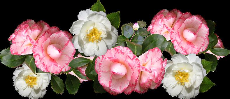 Camellias, Flowers, Arrangement, Decoration
