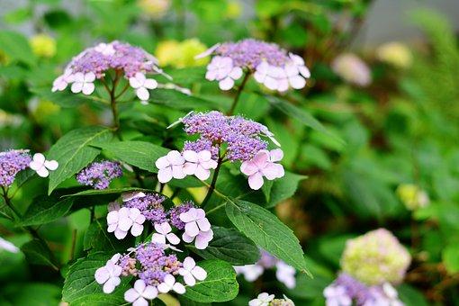 Hydrangea, Plate Hydrangea, Flowers, Garden