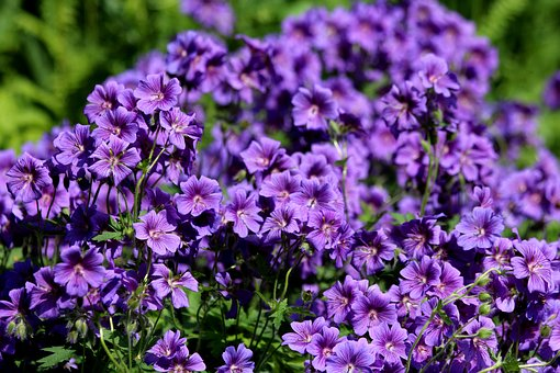 Geranium, Flowers, Purple Flowers, Bright, Plant