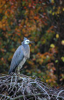 Nature, Fall, Autumn, Heron, Bird