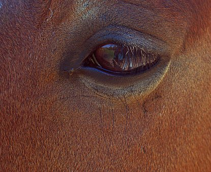 Horse, Eye, Close Up, Brown, Iris, Reflection
